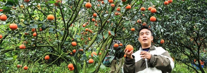 蘊含內在美的良心橘子|產地影片