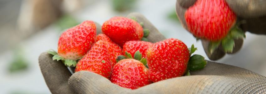 牛媽媽有機草莓|小農故事